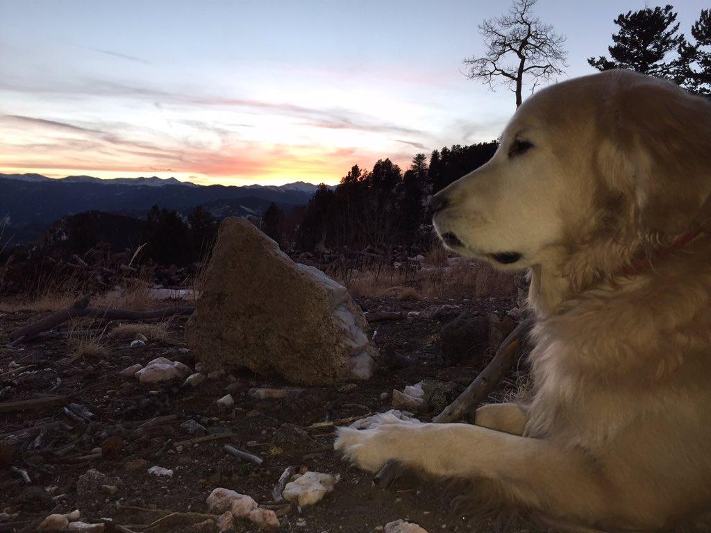A Golden watching a golden sunset. : Brad Carter 9wx cowx