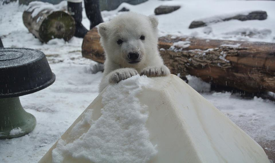 Toronto Zoo's polar bear cub meets snow for the first time