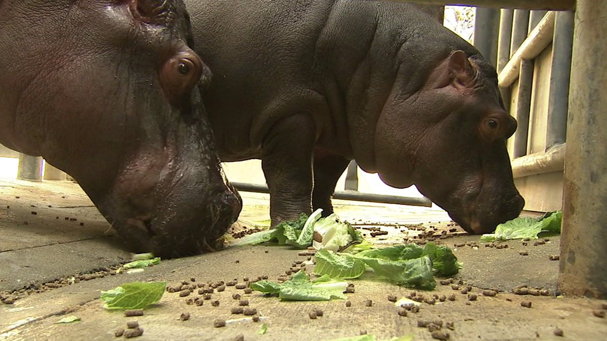 You can now get up close and personal with a hippo family at the @LAZoo!