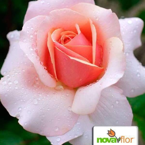 De rose à orange CbHVnxqW4AEnWfc