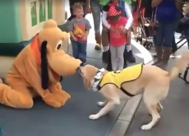 Disneyland Service Dog Meets Pluto, Flips Out