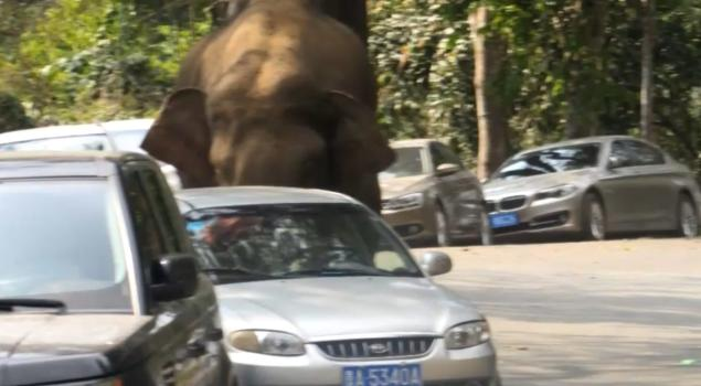 WATCH: Elephant wanders out of nature reserve, damages 15 cars