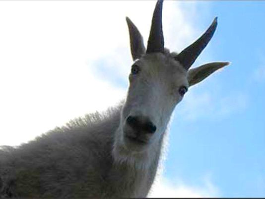 Idaho hiking trail reopens, with hikers warned not to feed goats