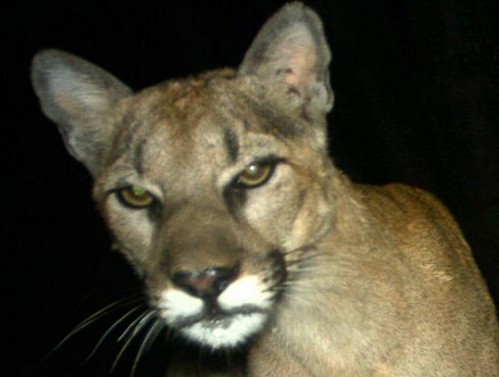 Study finds mountain lions are feasting on house pets. via @StienstraTom