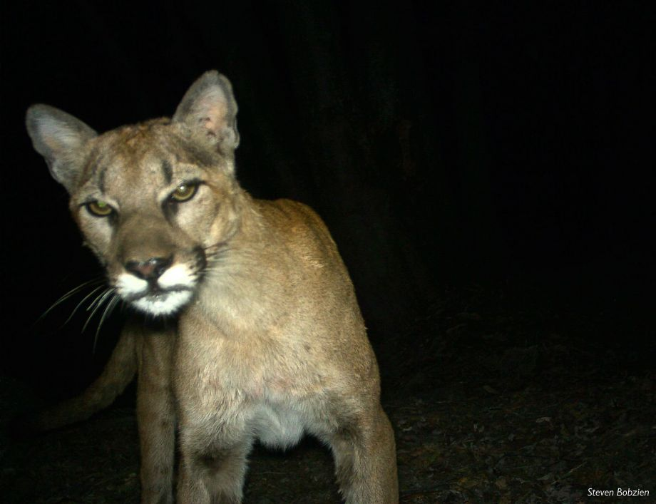 Study finds mountain lions are feasting on house pets.