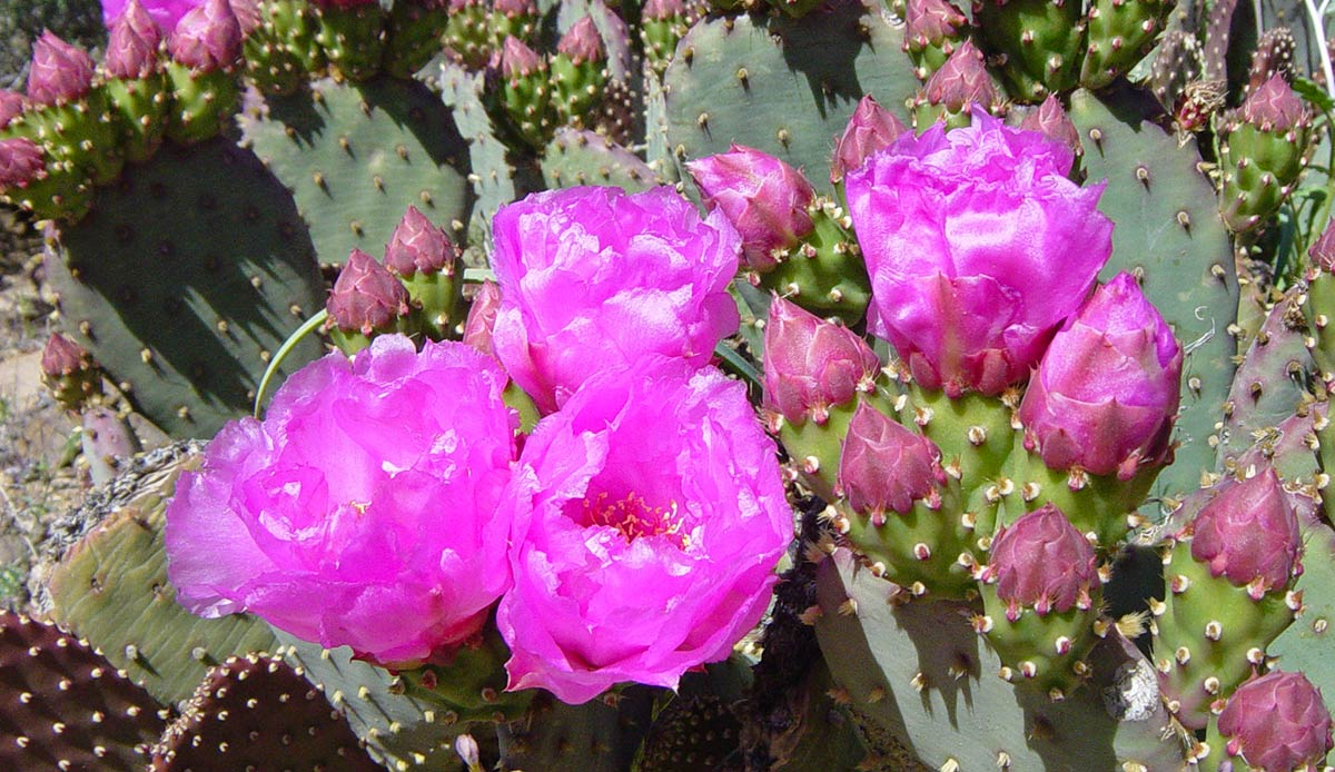 Happy Valentines Day from GrandCanyon NationalPark beavertail cactus (Opuntia basilaris engelm) -mq