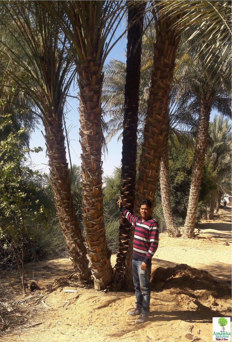 Phoenix Dactylifera Date Palms