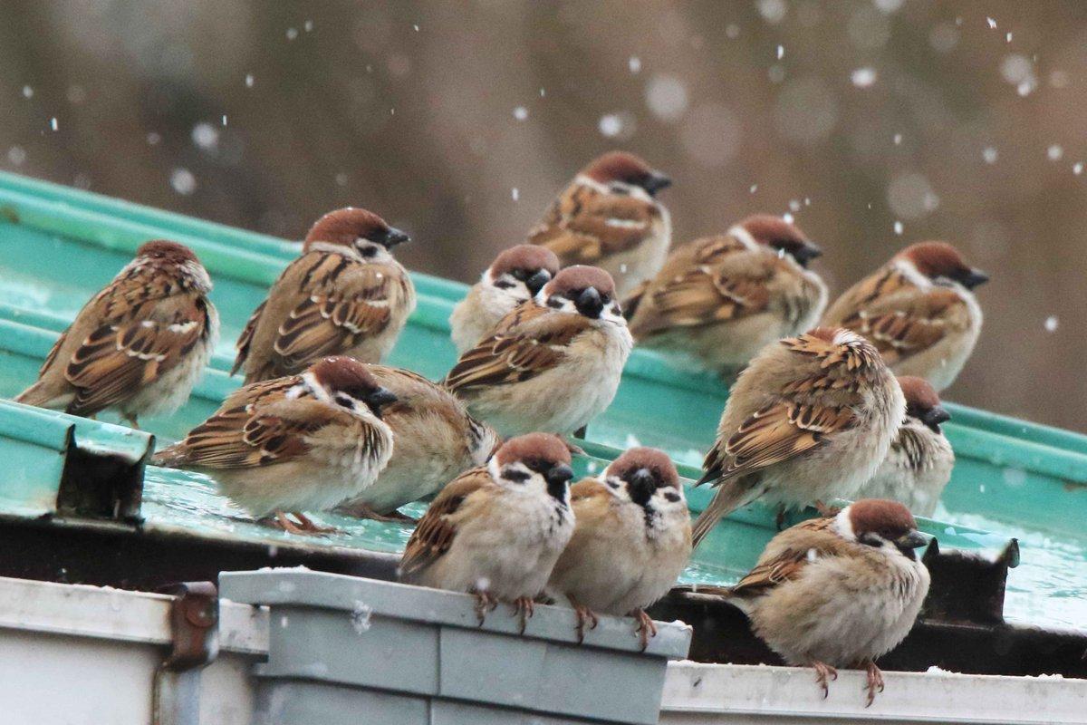 小雪が舞い散る今日の宇部市。教会の庭のスズメたちも、まるくなって寒そうにしています。 pic.twitter.com/VLJ71aQZT1