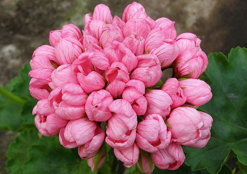 Можно, где купить цветы герани тюльпановидной