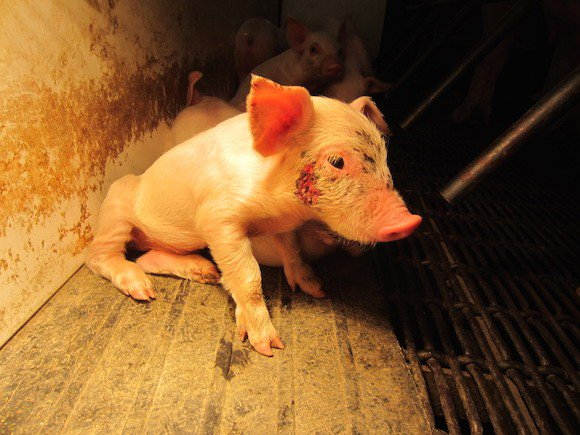 Say 'NO' to the cruel meat industry. Go vegan for the animals https://t.co/ZnJjmwZKTH