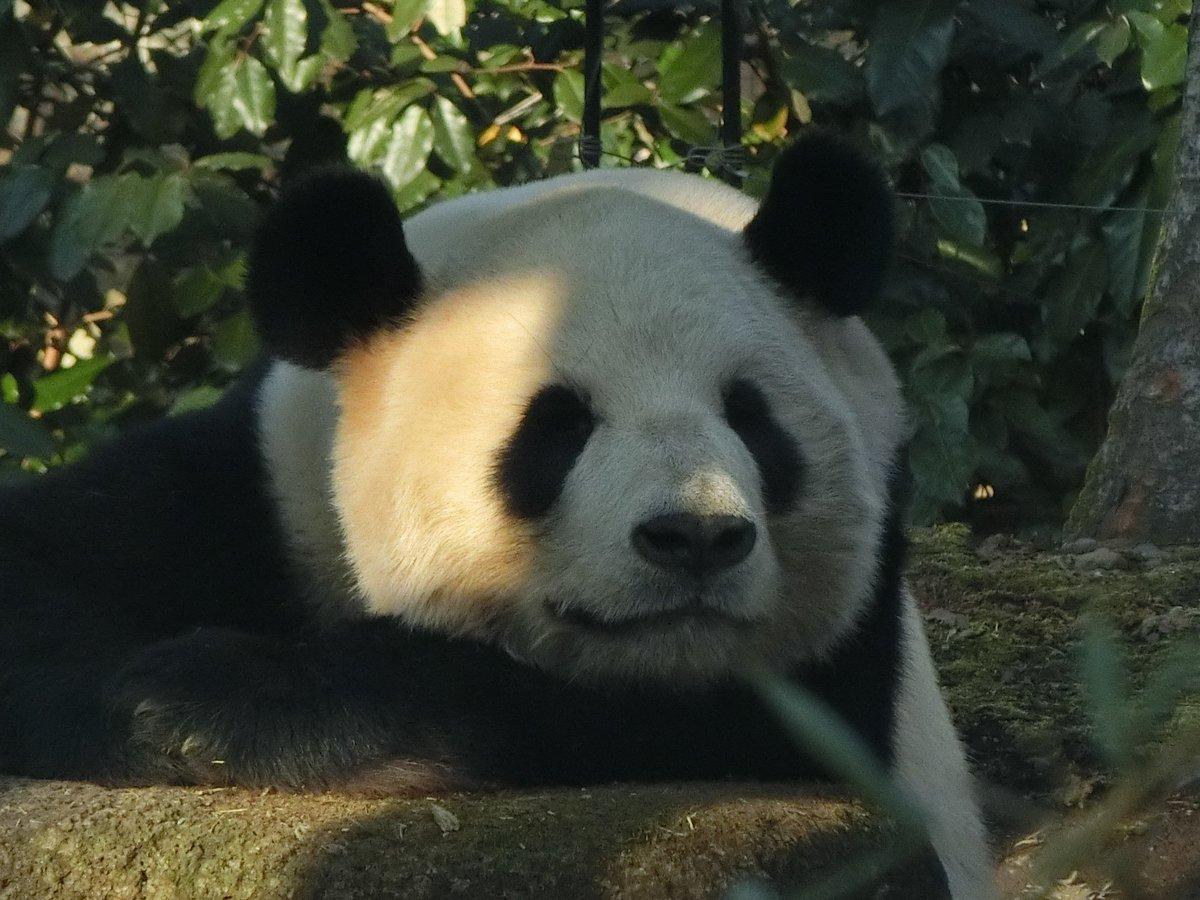 おはようございます\(・ω・)/開園早々に何ですが、13日に展示を再開したジャイアントパンダのリーリーの寝顔を前から横から・・・ pic.twitter.com/rkWx5dDrlo