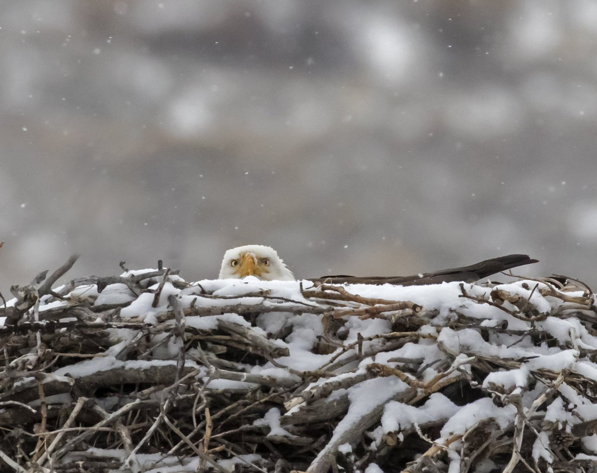 #WildlifeWednesday Bald Eagles build some of the largest nests in the bird world-- typically 5-6' wide & 2-4' tall. https://t.co/HfUfmkClCv