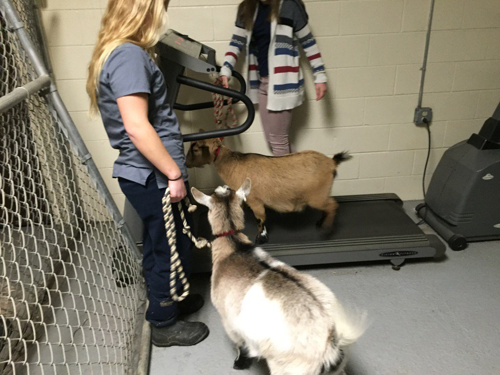 #whyledyardschools ?? Even the goats look to get better every day. #treadmillwork #noexcuses #colonelpride<br>http://pic.twitter.com/N5CXJsywdZ