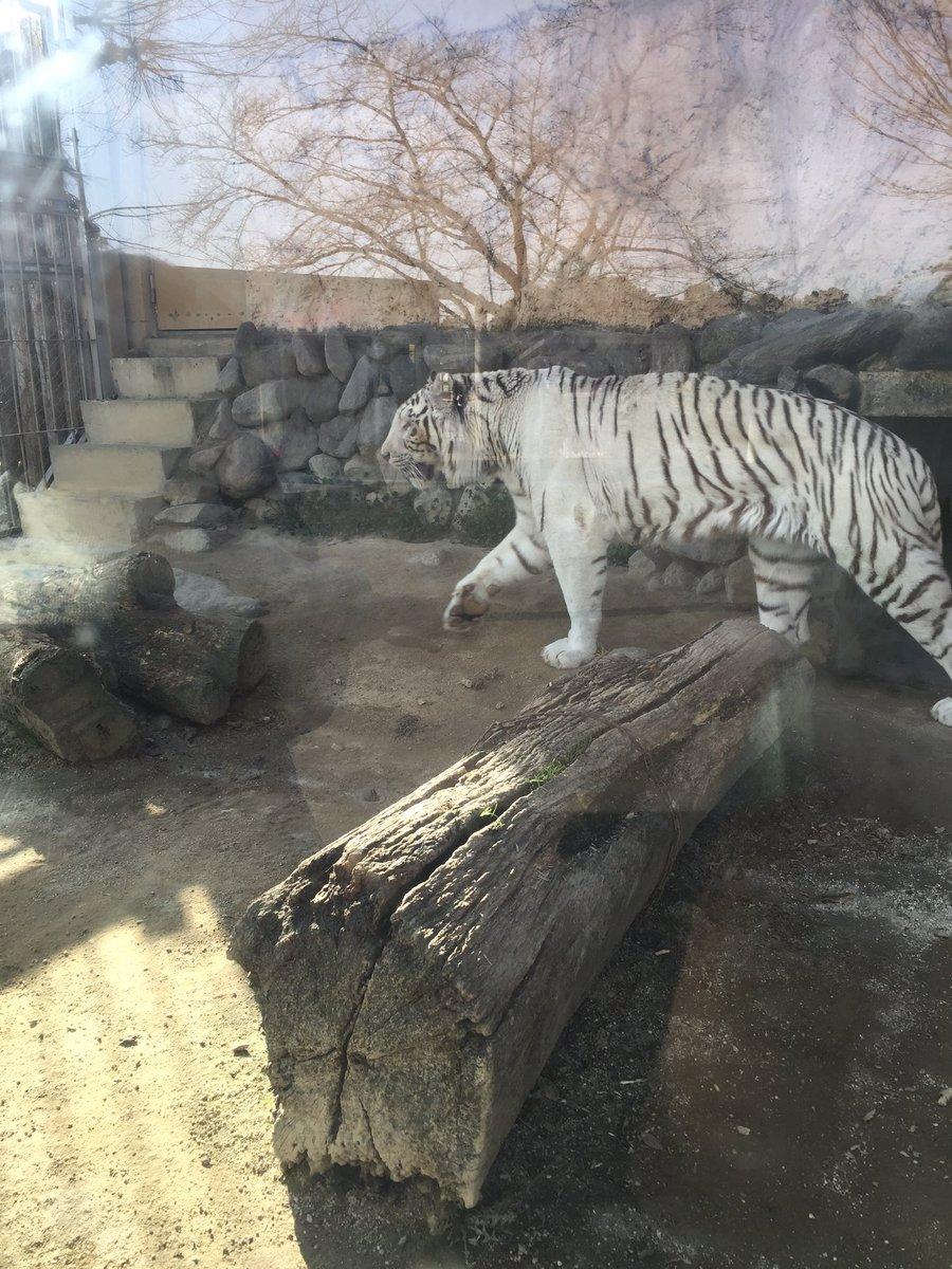 こないだ動物園でホワイトタイガー見て、すんごいかっこよかったけど、見てるお客さんたちが「パリパリアイス…」「ビエネッタ…」「バニラ多め…」とささやきあっていた pic.twitter.com/IUiqR5zTdj