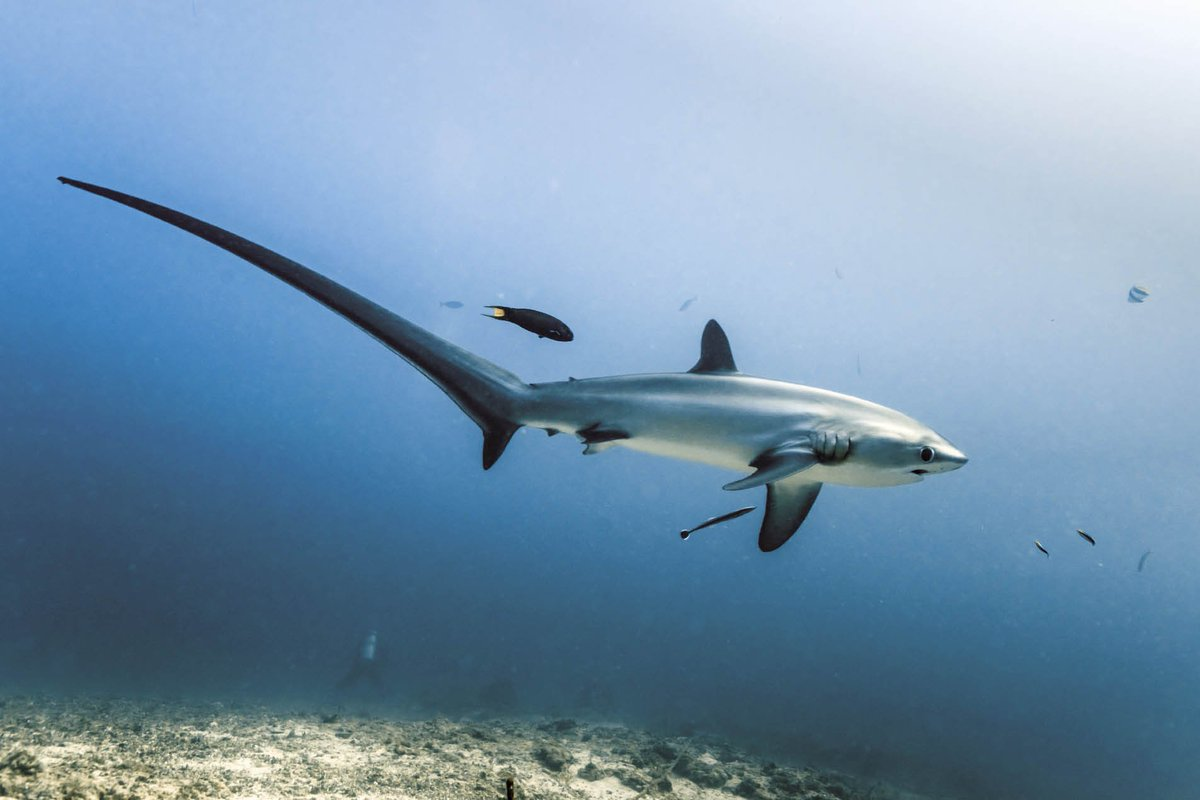 Thresher sharks in all their glory - stunning pixs  and full story. https://t.co/CHQMhoagce https://t.co/yDfPYjVWd3