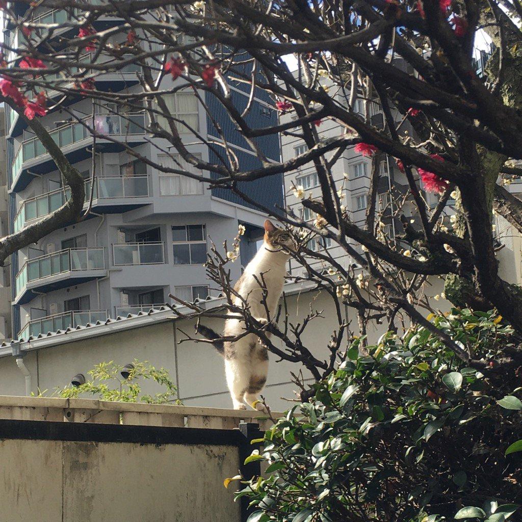 背伸びして梅の香をかぐねこ pic.twitter.com/esFbCtX6hJ