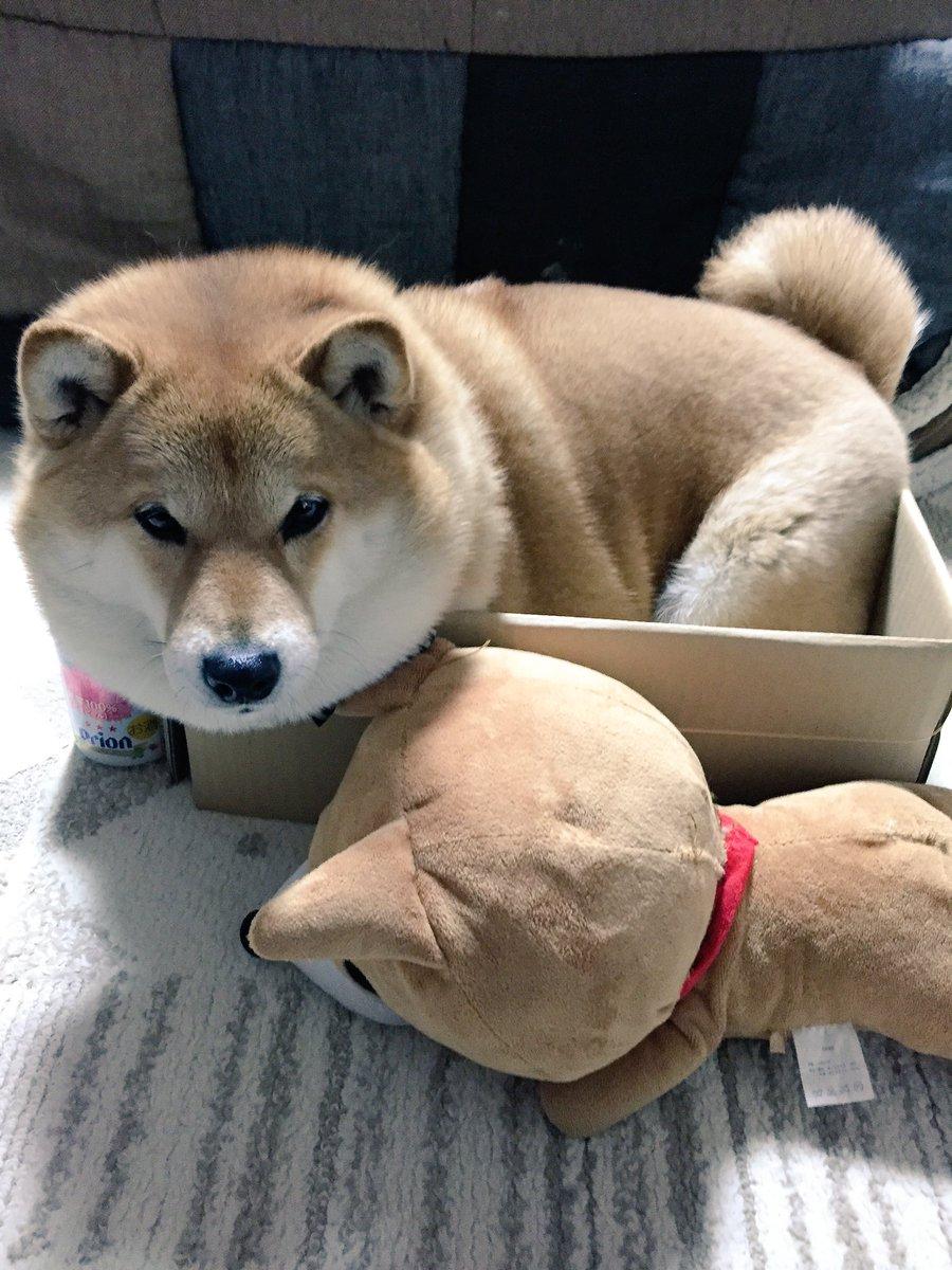 お母さんは、箱を見つけると決まって『ハナちゃん入って!』って言うの。仕方なく入るけど、この箱とても小さいの。皆わかる?(´・_・`) pic.twitter.com/eDup7wXswY