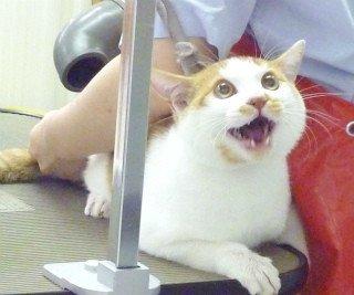 #軽い気持ちでアップしたら予想以上に反響があった画像 「ケツにドライヤー当てられた瞬間のうちの猫の顔」せっかくの猫の日なので(*´∀`)我が家の四男猫、空ちゃんです。別名ケツドライヤー猫!茶トラ白が美しい自慢のうちの子です pic.twitter.com/XKBs1nNwtT
