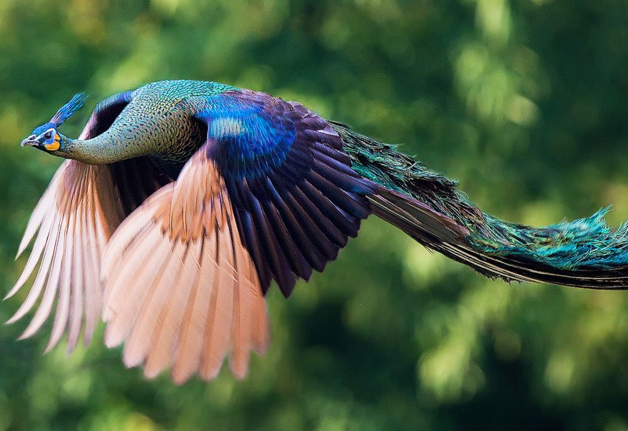 あまりみかけることのない、『飛翔する孔雀(クジャク)』が神のような美しさ。この瞬間を目撃できる人は少ないそうだが、