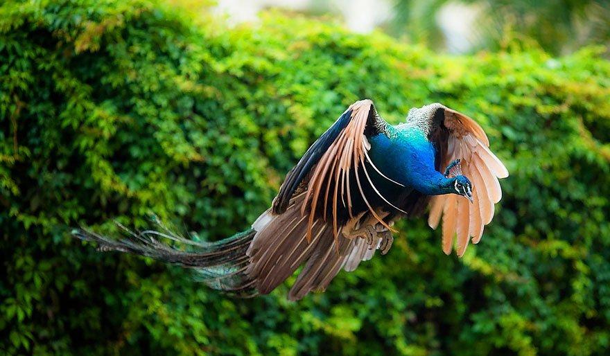 【貴重】孔雀の飛ぶ姿が美しい!滅多に見れないらしいよ。