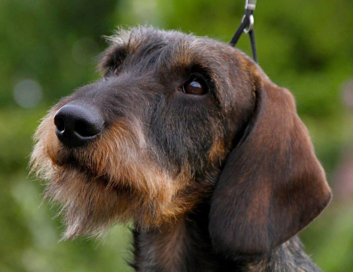 Wirehaired Dachshund Wirehdachshund