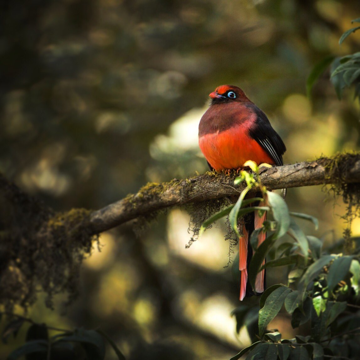 Ward's Trogon. One of the rare and elusive birds from eastern Himalayas  #brahmaputra https://t.co/E3XnciQldP