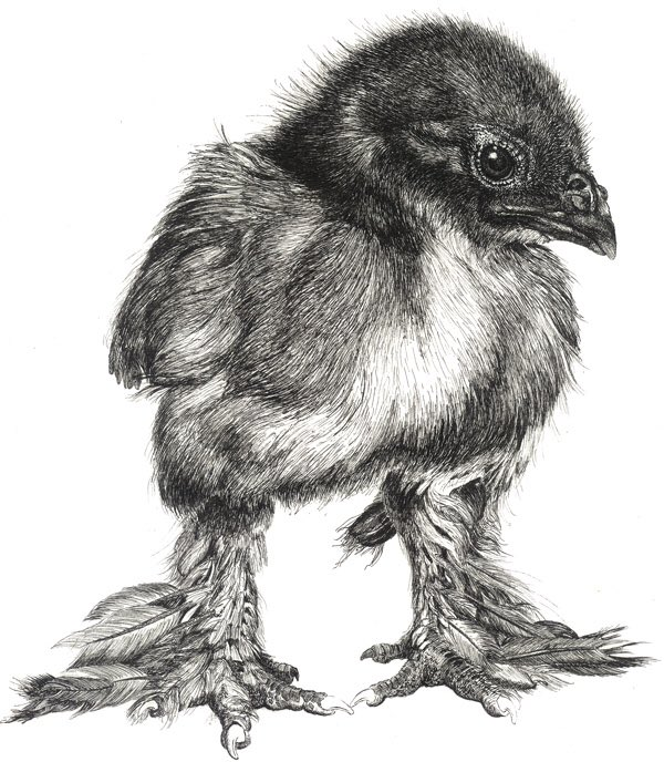My specialty in traditional media was pen and ink: Week old Breda chicken #sciart https://t.co/a8X4mtqCwi 2/2 https://t.co/jhlluMs4Dw