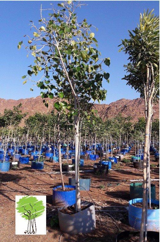 Amanha Tree Nursery On Twitter Ficus Religiosa Wisdom Bodhi Growers Based In Uae 971 0 5 26277568 Azmi Dubai Yahoo