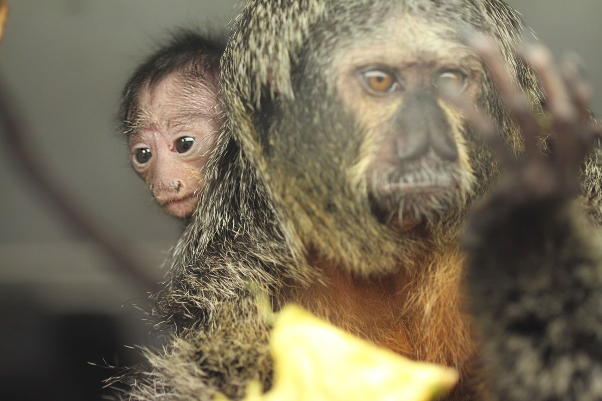 Saki Monkey Baby