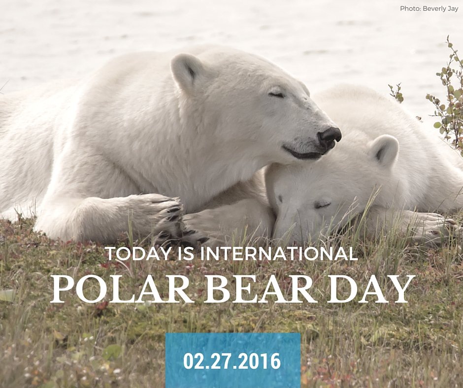 Today is International #PolarBearDay. Adopt a polar bear & help protect Canada's #wildlife: https://t.co/CwRYNCbFTE https://t.co/Tl6baRnafW