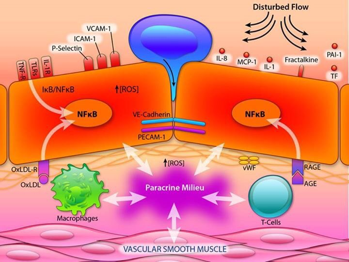 Great review @CircRes Endothelial Cell Dysfunction & Pathobiology of ASCVD https://t.co/VSJ7sKrd9e @nationallipid https://t.co/78ZalWqX5L