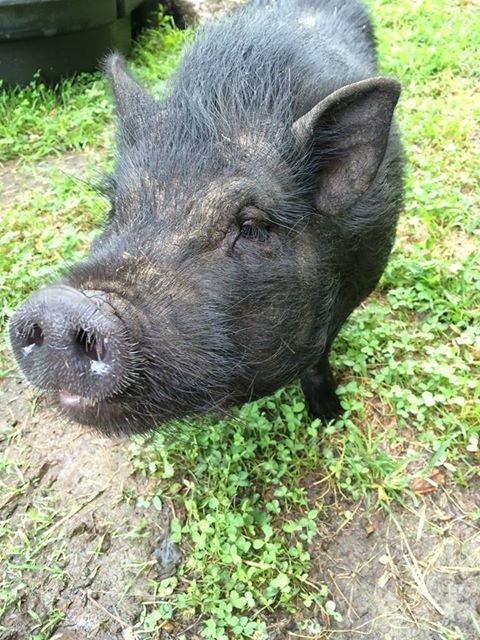 This pig is up for adoption at the Middleburg Humane Foundation. #adoptthepig https://t.co/es9tLS0vrV