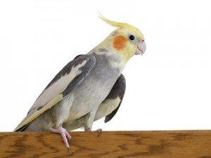 Как научить #попугая говорить