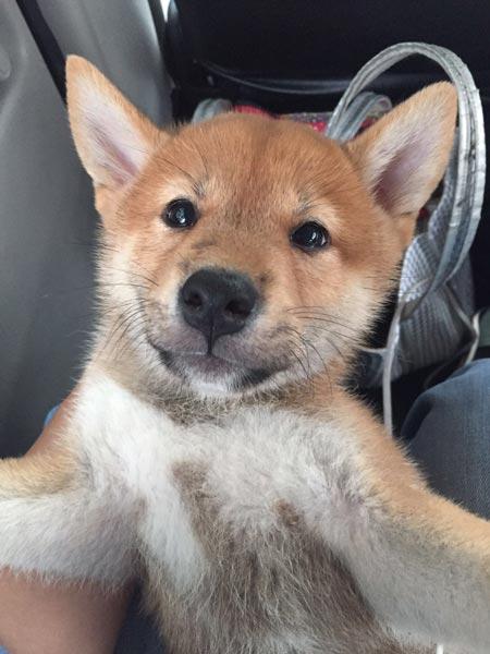 47++ Anjing shiba inu terbaru