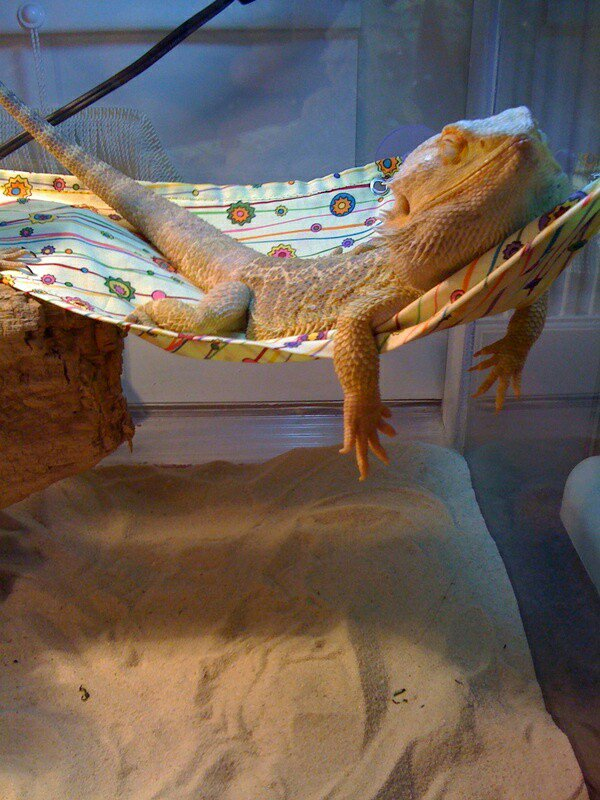 Redding Reptiles On Twitter I Wonder What He S Dreaming Of Some