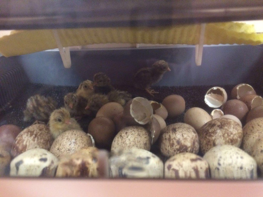 The first Burgh chicks have been born! Well done to p1/2 for looking after them so well! https://t.co/VVJALfNzpr