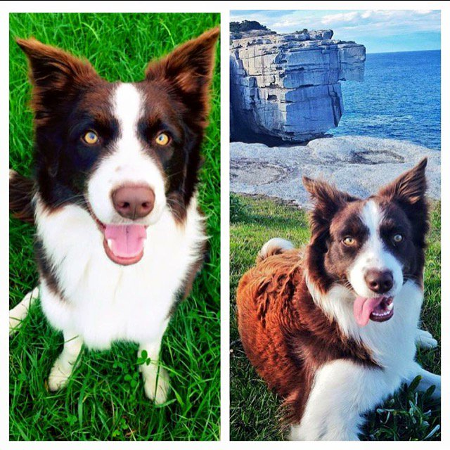 My cousins dog Django has gone missing from the Bundeena area. Please share… #bordercollie https://t.co/w2PeH73oVp