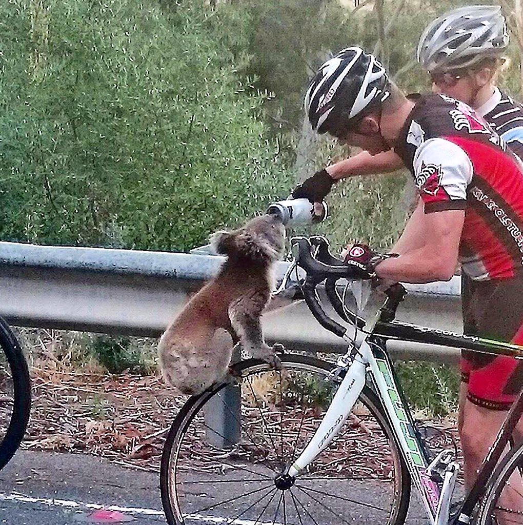 Lovely pics of a thirsty #koala helped by #bikeriders in #Adelaide Hills today by Nick Lothian via @glamadelaide. https://t.co/9VFt4b6lZw
