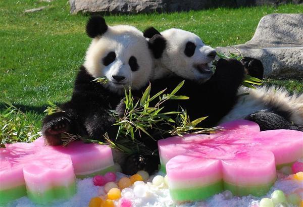 かわいい…。双子姉妹のパンダがひなまつり ひし餅代わりの氷に大喜び、和歌山・アドベンチャーワールドsankei.com/west/news/1603… #桃の節句 #3月3日 pic.twitter.com/0r1E7pFptk