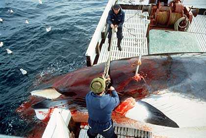 #Norway Whales, still alive after harpooning, and killed with rifle bullets =34.4% #OpWhales<br>http://pic.twitter.com/Ew5CotHRSH