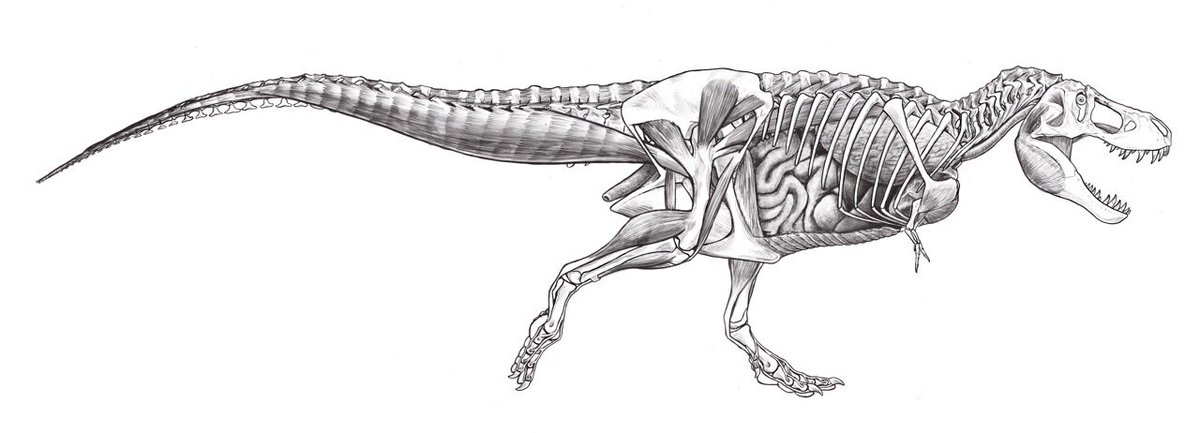Matt Celeskey On Twitter T Rex Anatomy Study 2 Viscera And Deep