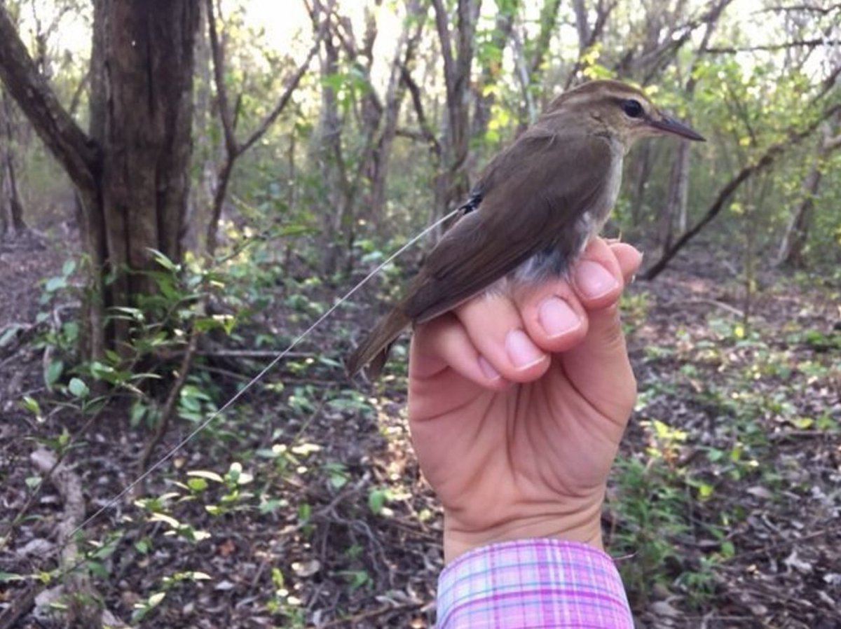 Check out these pics of some Swainson's Warblers our researchers radio-tagged in Jamaica this week! #ornithology https://t.co/BKK85vGXSI
