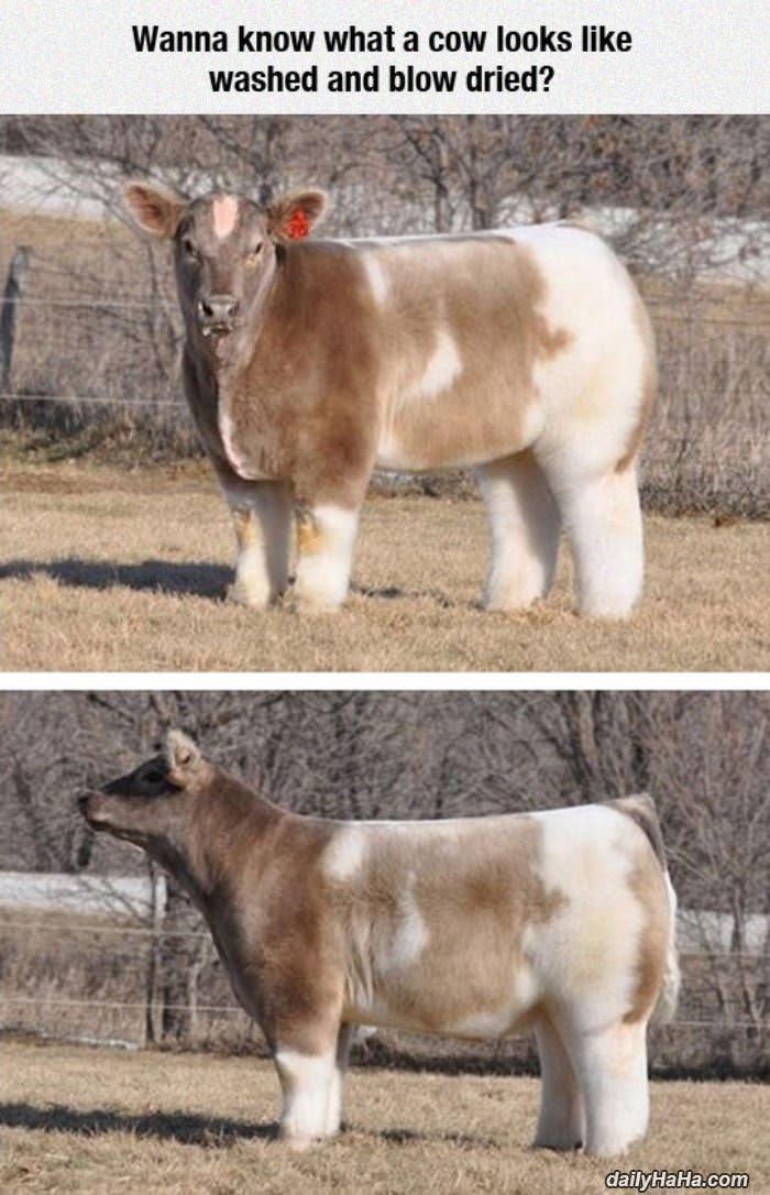 牛を綺麗に洗ってドライヤーかけるとモフモフになるらしい pic.twitter.com/pQR3oMTGxt
