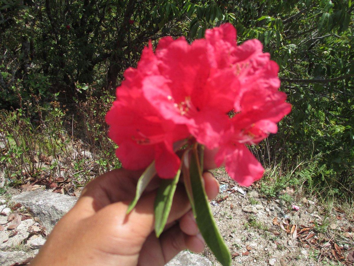 Image result for लालीगुराँस फुल