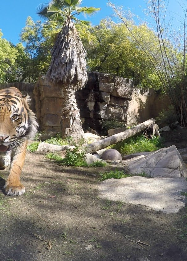 We're getting wild this month with @GooglePhotos and @DisneyZootopia & CJ our tiger wants in #zooglephotos #LAZoo https://t.co/nF0LdX1LvY