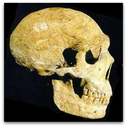 "Amud paleoanthropology+ on twitter: ""amud 1 cranium - largest neanderthal"