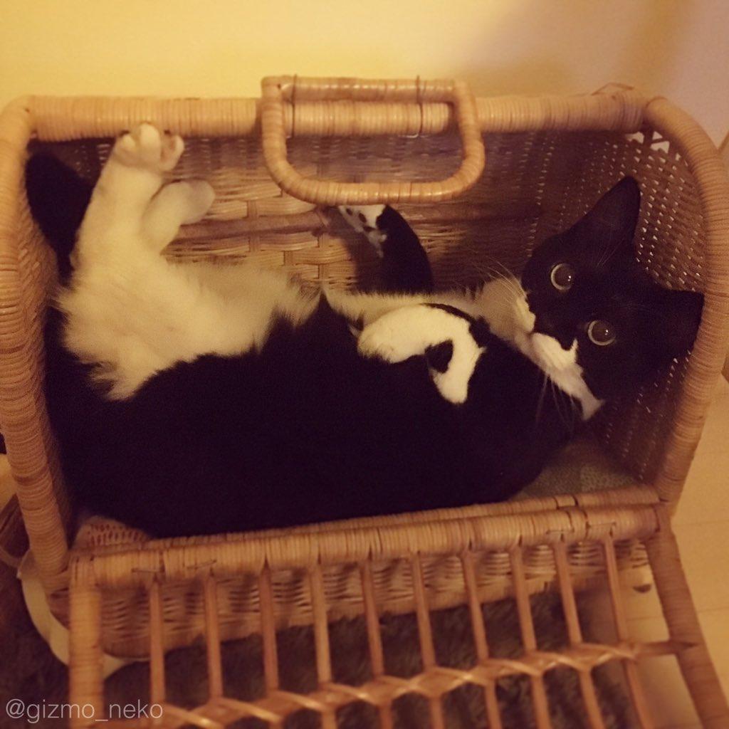 お出かけから帰ってきて、キャリーケース開けた瞬間の警戒心緩みまくりな猫がこちらです。 pic.twitter.com/DPvJ6Af1pA