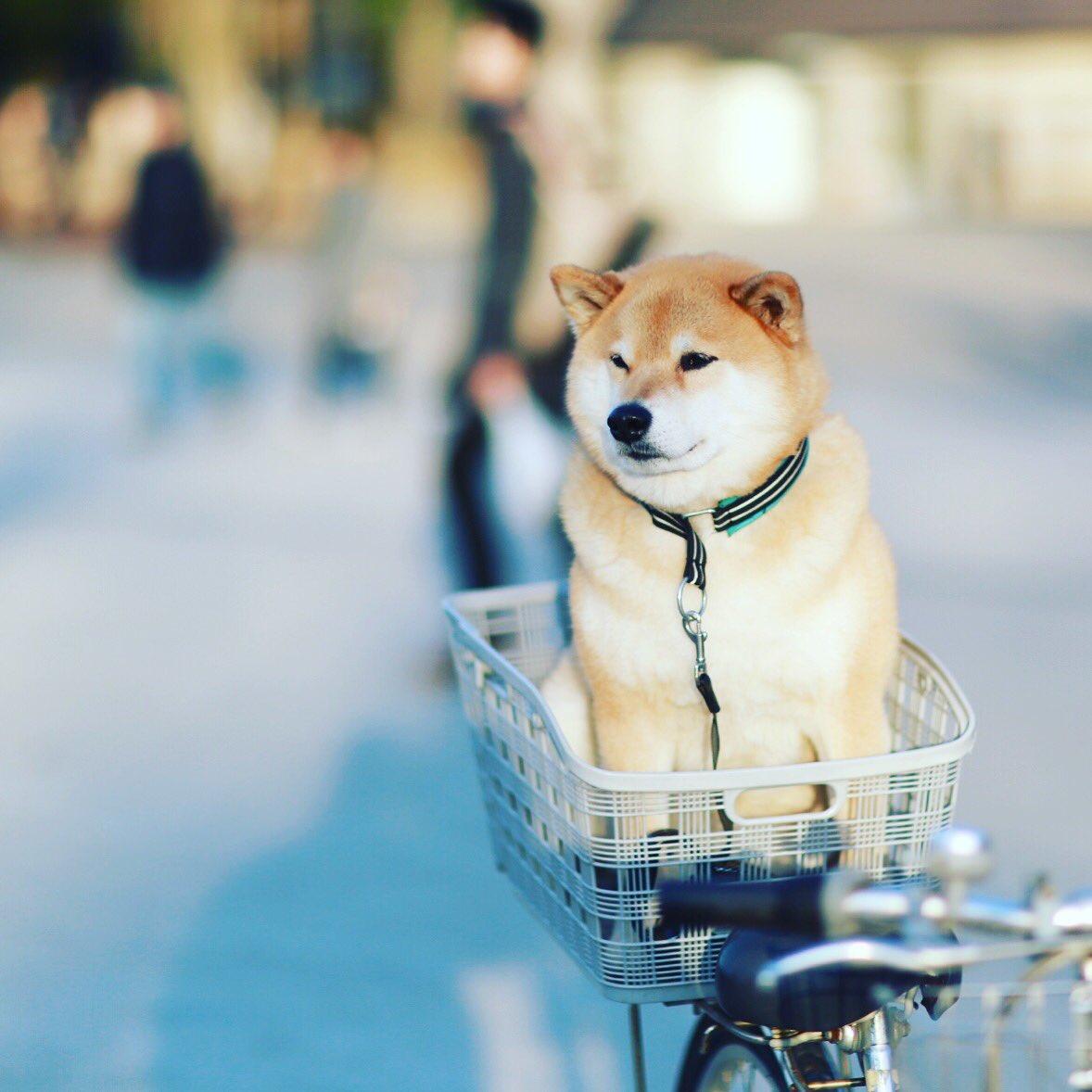 柴犬運搬中 pic.twitter.com/3Pd6TW3Cre