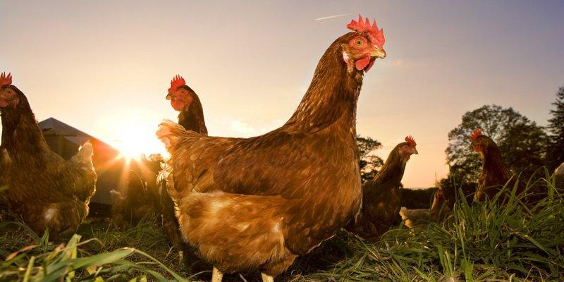 Chicken Coop (@mychickencoopn) | Twitter