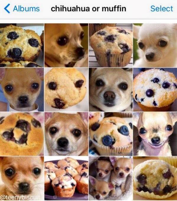Chihuahua or muffin https://t.co/8X3OywpJGP